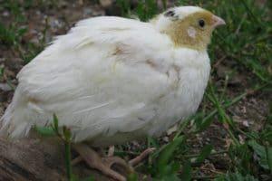 техасская порода