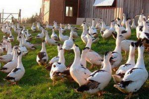 ᐉ Утки Муларды: содержание, разведение, выращивание породы || Откорм уток мулардов