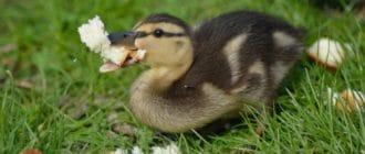утка и хлеб