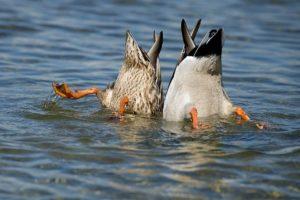 утка ныряет