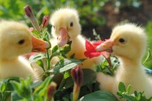 гусята в саду