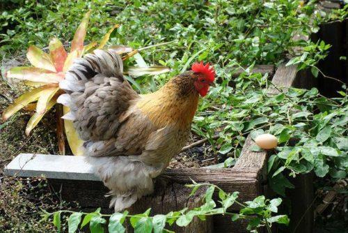 яйцекладки у кур