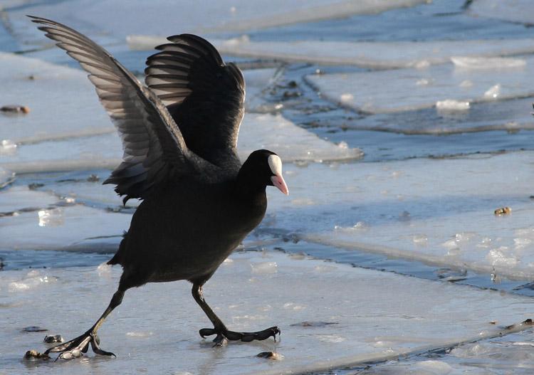 Черная утка с белым животом