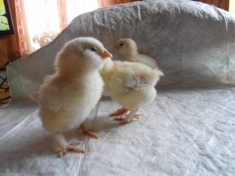 фавероль цыплята