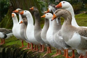 взрослые гуси
