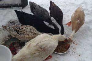 кормление утки зимой