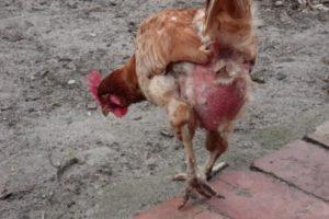 курица на крыльце