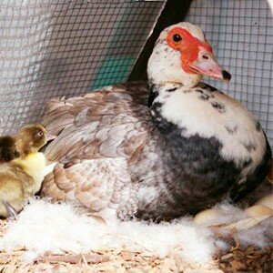 утка на яйцах