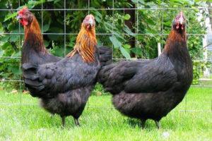 Московская чёрная порода кур описание