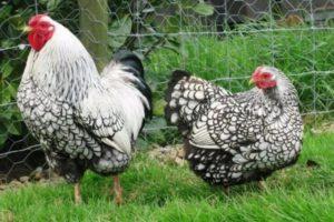 виандот петух и курица