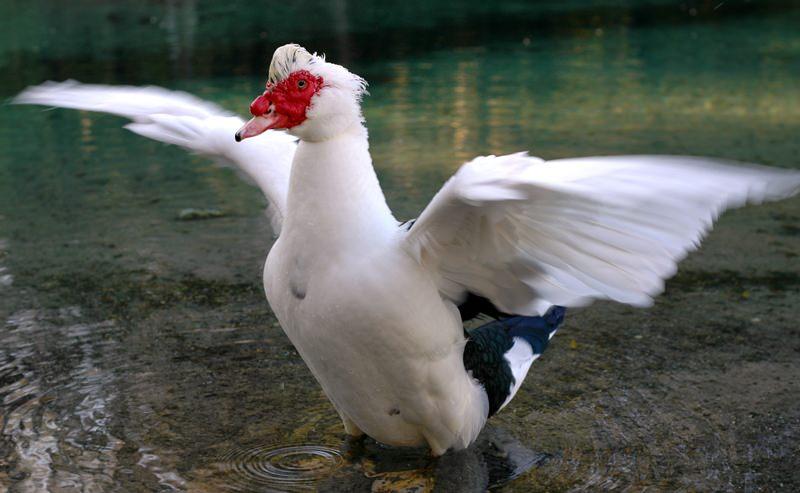 Мускусная утка (индоутка): описание породы, разновидности