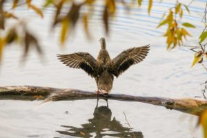 крылья утки