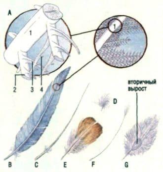 Структура птичьего пера