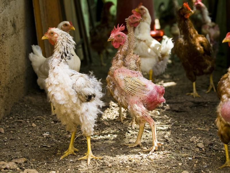 Почему у кур выпадают перья на спине: советы ветеринара. Почему у кур выпадают перья