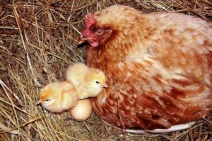 насиживания у кур