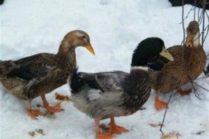 Выгул утки зимой