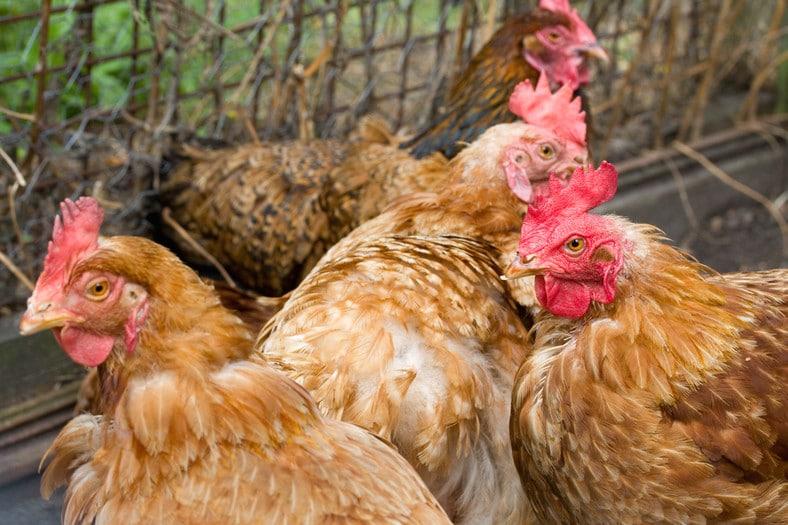 Почему курица чихает тревожный симптом