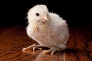 амераукана цыплята