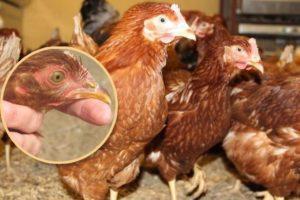 Клюв молодой курицы