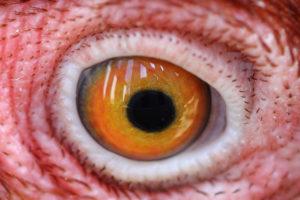глаза у молодой курицы
