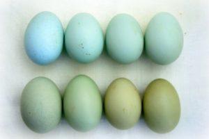 амераукана яйца