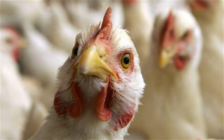 Птичий грипп у кур симптомы лечение
