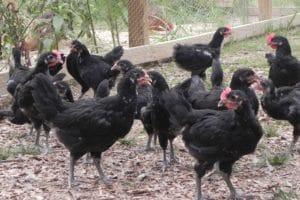 Барбезье цыплята