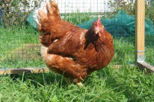 оперение молодой курицы