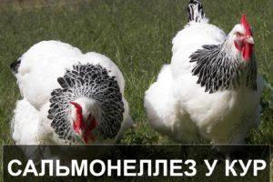 Сальмонеллез у кур