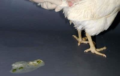 Понос у кур несушек - от причин до лечения