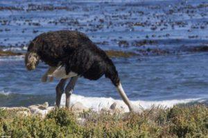 Миф или реальность - страус в песке