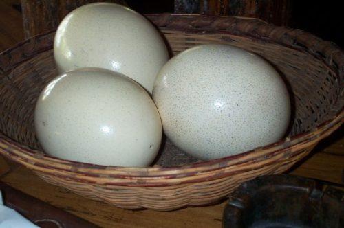 Хранение страусиных яиц