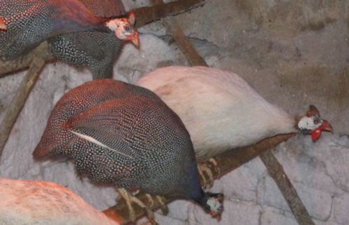 разноцветные цесарки в птичнике