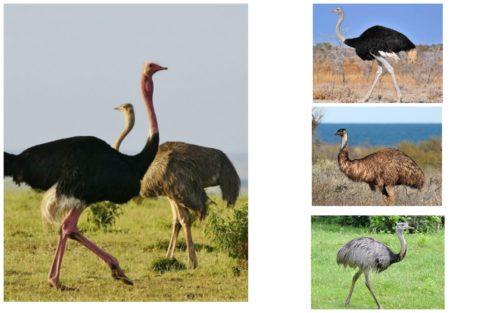 Как вести бизнес по разведению страусов