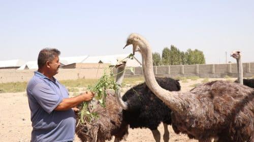 Как правильно подобрать корм для страусов