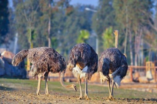Продолжительность жизни страусов